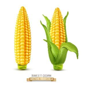 Vector two corn on the cob with leaves. design element